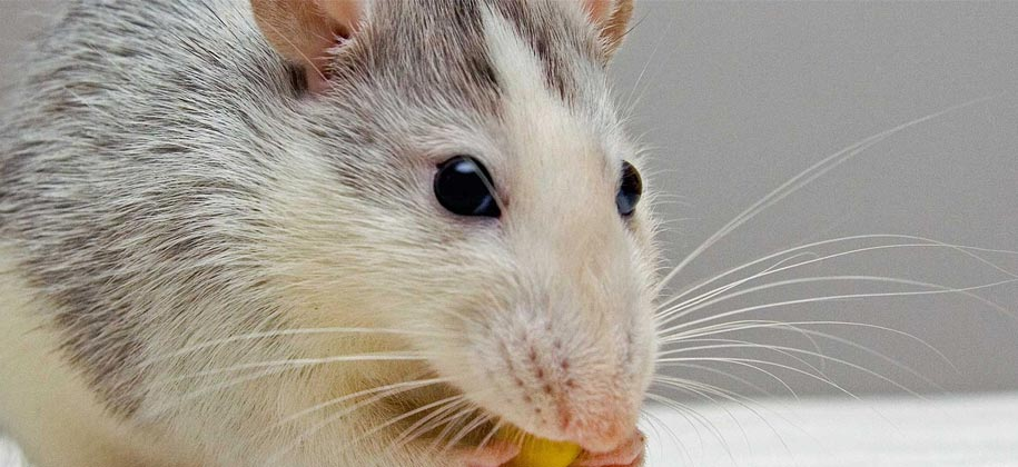 rodent control services sanford fl